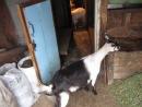 Образцовая дойка коз