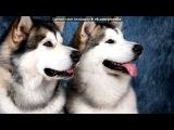 «С моей стены» под музыку Within Temptation - музыка для души (из видео про хаски). Picrolla