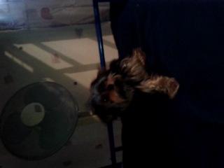 Моя собачка йоркшир
