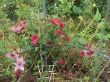 роза плетистая и клематис