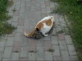 Две кошки занимаются сексом / Two cats are having sex