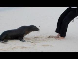 Галапагосские острова. Морской котик отважно борется за тапки туристки