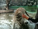 Альбинос. Белый тигр.