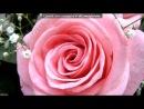 «Розы.» под музыку Крис Сфирис - Для тебя.... Picrolla