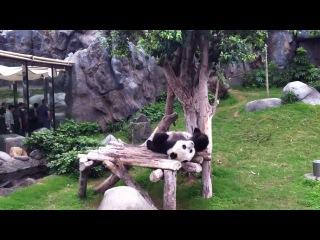 Панда любит баловаться :)