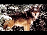 «волки» под музыку Собачья жизнь с глазами волка - Если это есть волчья доля - Умирать в снегу от боли, Я её приму на воле!!. Picrolla