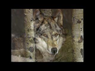 Группа Любэ ~ ЛУНА  История волка
