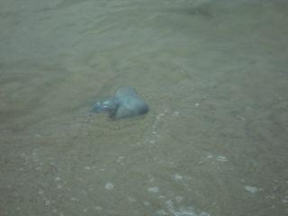 Вот такие большие медузы в Коблево