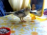 попугай корела ( чипа : прыгает )