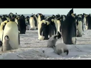 Императорские пингвины Пен-И и Сом-И / Emperor Penguins Peng-yi and Som-yi - Корея, 2012