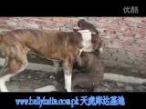 Собачьи бои булли кутта VS бандог