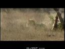 Застрелили льва_ VIP охота