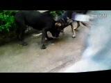 Собачьи бои метис волка vs кане корсо