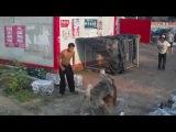 Собачьи бои кавказская овчарка vs тибетский масифф