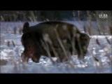 Собачьи бои волк vs зубр