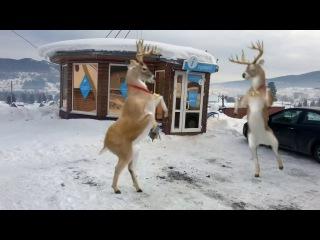 А у нас есть свои олешки Деда Мороза! !