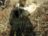 собачьи бои кавказец против алабая
