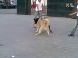 Собачьи бои ротвейлер vs хаски