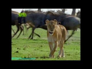 BBC «Животные от А до Я: Антилопа-Гну - суперстадо» (Документальный, 2004)