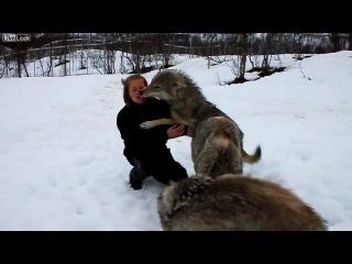 Волки. Нет зверя настолько дикого, чтобы он не отзывался на ласку.
