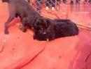 Собачьи бои тибетский мастиф vs неаполитанский мастиф