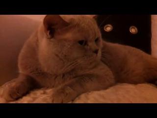 Британский говорящий кот.