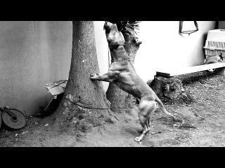 Muscle pit bull (2o12) hd 720p