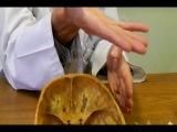 Анатомия, лекция. Кости черепа. ч3
