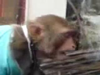 обезьяна курит травку вахахаха )