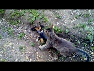 моя такса играет с котом