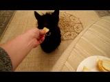 Скотч терьер Томас ест апельсин