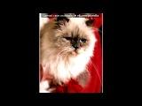 «Со стены Кошки от А до Я» под музыку MC Zali - Опа, горностай Горностай  Я помню, как мне в детстве строго говорила тетя