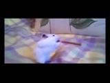 «Приколы про животных Маленький хомяк помещает в рот огромную соломку Лучшие приколы про живот