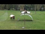 Chèvres en équilibre - goats balancing on a flexible steel ribbon