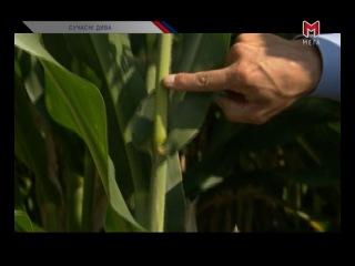 Технологія обробки кукурудзи