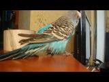 Мой попугай говорит
