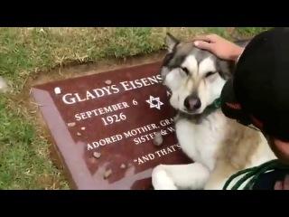 Собака плачет на могиле хозяина - очень грустное видео...