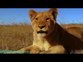 BBC «Львиная семейка»