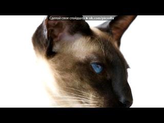 «Сиамские котята» под музыку Коты-Воители. Ежевика и Уголёк. Белке. - Кошка. Picrolla