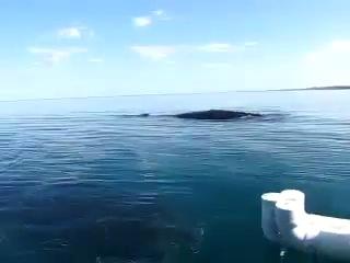 Огромный кит играет неподалеку с крохотной лодкой в открытом море, очень редкие и красивые кадры.