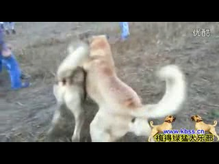 Собачьи бои кангал vs хз (волкодав)