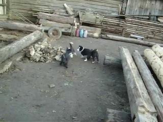 Натаска щенков русско-европейской лайки по кролику