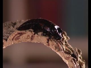 Наши питомцы: гигантский мадагаскарский таракан.