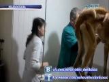 Спасение Туркменской овчарки Бары