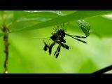 Скорпионницы: драка двух самцов за пищу