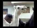 Верблюд, который смеётся как Питер Гриффин