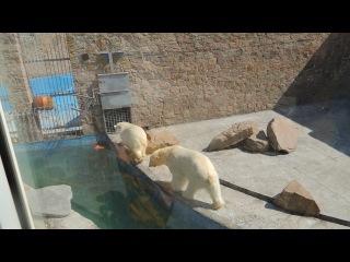Странный танец белого медведя в Челябинском зоопарке