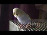 Мой попугай танцует под Dab Step :3