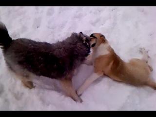 Алабай против волка)))