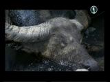 Варан охотится на буйвола!